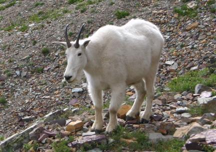 Goat2-2